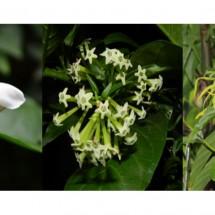 มะลิ ราตรี กระดังงา ส่งกลิ่นหอมในช่วงเวลาที่ต่างกัน
