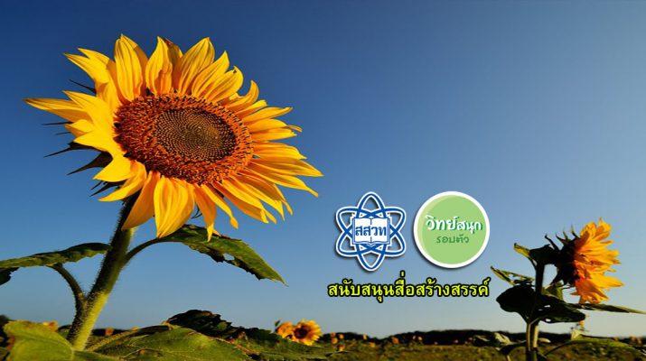 sunflower1040x470