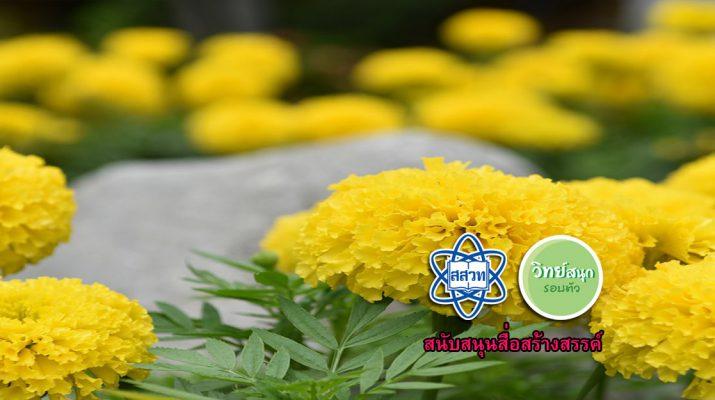 marigold-flower